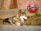 Wolves Canvas Print Wall Art Premium Wolf Lying Down Pictureprint