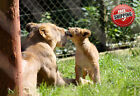 Animal Big Cat Lioness and Cub Poster Print Wall Art Premium Picture Photo 20x16