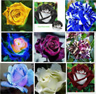 Gorgeous Rose 60 PS Seeds Home Yard Garden Plants Perennial Free Shipping 2017