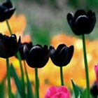 200 Perennials Rare Rainbow Tulip Flower Bulbs Seeds Spring Bloom Garden Decor