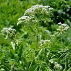 Chervil 'common' - (Anthriscus cerefolium)