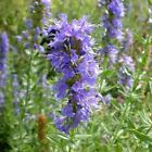 Seeds for Hyssop | Hyssopus officinalis | Amkha Seed