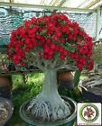 !!!RARE!!! Red Adenium Obesum Bonsai Desert Rose Plants !!!Double-Flowered!!!