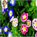 Suntoday Garden Dwarf Morning Glory Convolvulus Tricolour Flower Seeds 100Pcs