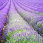 20 Lavender Vera 1L (not 9cm pots) - 20 plants herbs hedging border plants