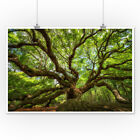 Charleston, South Carolina Angel Oak Tree Photo (Art Prints, Wood & Metal Signs)