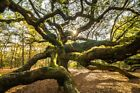 Charleston South Carolina Angel Oak Tree (Art Prints, Signs, Canvas, More)