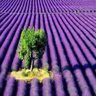 Lavender Fragrance Oil Candle/Soap Making Supplies  Free Shipping