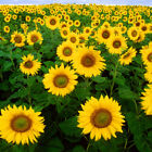 Helianthus annuus, Black Oil Sunflower Seed Balls for Spring