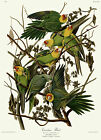 No. 26 Carolina Parrot John James Audubon Double Elephant  Fine Art Print Giclee