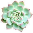 Echeveria 'Tippy' Pink Tip Pointy Lotus Succulent (2'' or 4'')