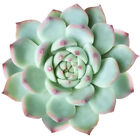 Echeveria Tippy Pink Tip Pointy Lotus Succulent (2'' or 4'')