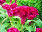 Celosia Cristata Pink Seeds, Edible Heirloom Crested Cockscomb, Flowering Plant