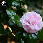 Buy Camellia Japonica Tree Seeds 30pcs Plant Camellia For Tea Flower Cha Hua