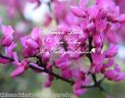 Western Redbud Cercis occidentalis Seeds Bonsai and Tropical Deck Gardens Pink
