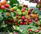 Coffea arabica var Mandheling Tree Seeds! Container Gardening Good coffee!