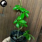 Buy Real Gynostemma Herb Seeds 100pcs Plant Herbal Gynostemma For Jiaogulan Tea