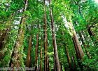 conifer - Sequoia sempervirens California Redwood Seeds West Coast Conifer for All Climate