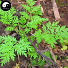 Buy Herba Artemisiae Annua Seeds Plant Sweet Wormwood For Herb Qing Hao