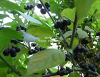 Solanum melanocerasum Seeds Tropical Garden Huckleberry White Flowers Organic