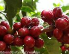 Coffea canephora robusta Coffee Tree Tropical Gardening Seeds Robust High Yield