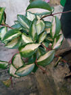 Hoya Cuttings With Root Plant Flower Of Wax Carnosa Tricolour Krimson Queen