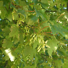 Acer pseudoplatanus - Sycamore (bare root) - Delivery November onwards