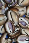 SnakeHead Seashells Cowry Sliced Center Cut 7/8  inch to 1 5/8 inch, SS-30