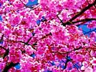 Japanese Sakura Cherry Blossom Tree Seeds (Prunus sargentii)  *10 to 100 SEEDS*