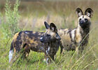 Poster / Leinwandbild Two Cape hunting, or African wild dogs, ... - B. Joubert