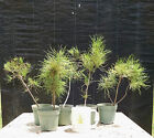 Bonsai Tree, Sand Pine, Pinus clausa, 5 Starter Trees, No Reserve Auction