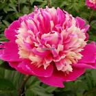 10Pcs Home Gardening Ornamental Plants Potted Colorful Peony Flower EH7E