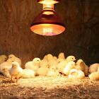 Heat Lamp Poultry Puppies Dog Kittens Piglets Animals With Optional E27 Bulb