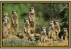 Meerkat Photographs  - New - on Fridge magnets - Stocking fillers