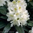 sehr beliebte Rhododendron Cunningham`s White Alpenrose 25/30 cm Top Preis