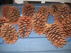 """TEXAS PINE CONES, LOT OF 50,CHOICE OF 3 SIZES(4"""", 4-1/2"""" OR 5"""")GREAT FOR CRAFTS!"""