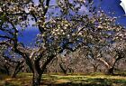 "Wall Decal ""Apple Trees In An Orchard, County Armagh, Republic Of Ireland"""