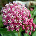 BUTTERFLY FLOWER Asclepias incarnata pink 10, 50, 100, 500  seeds choice listing