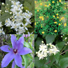 CLEMATIS 4 varieties 3 colors 20, 100, 200, 1000, 2000 seeds choice listing