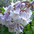 Princess tree paulownia tomentosa 50, 250, 500, 2500, 5000 seeds choice listing
