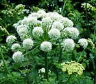 earthessence ANGELICA ROOT ~ CERTIFIED 100% PURE ESSENTIAL OIL ~ Aromatherapy