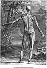 ML40 Vintage Medical Anatomical Illustration Muscles Man Albinus Poster A2/A3/A4
