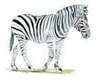 Car Truck SUV Boat and RV Glass Window and Bumper Animal Sticker - Zebra