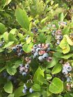 15 Blueberry Plant Seeds -Toggle to See The Varieties -USA GROWN