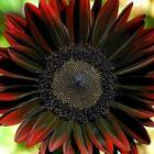 CHOCOLATE CHERRY SUNFLOWER deep red great cut flower 20 or 100 seeds
