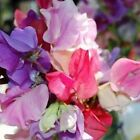 Sweet Pea, lathyrus odoratus melody mix from 15 seeds to 2 pounds of seeds