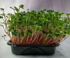 MICRO GREEN RADISH RED CORAL 200 GRAM TO 1 KG SEEDS