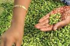 Grow Fresh Green Cardamom seeds At your Home.. Fresh at Home 100% Cardamom