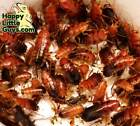 Mixed size Red Runner Turkestan roaches, 10% bonus, Dubia Roach Alt.
