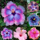 Gardening Giant Hibiscus Exotic Coral Flower 100 Seeds Mix Rare Blue-Pink Color